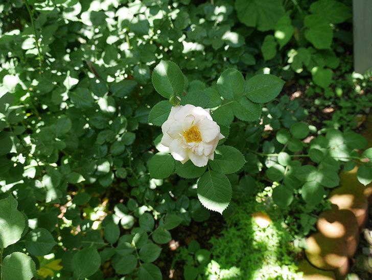 プリティ・レディ(木立バラ)の2番花が咲いた。2018年-2.jpg