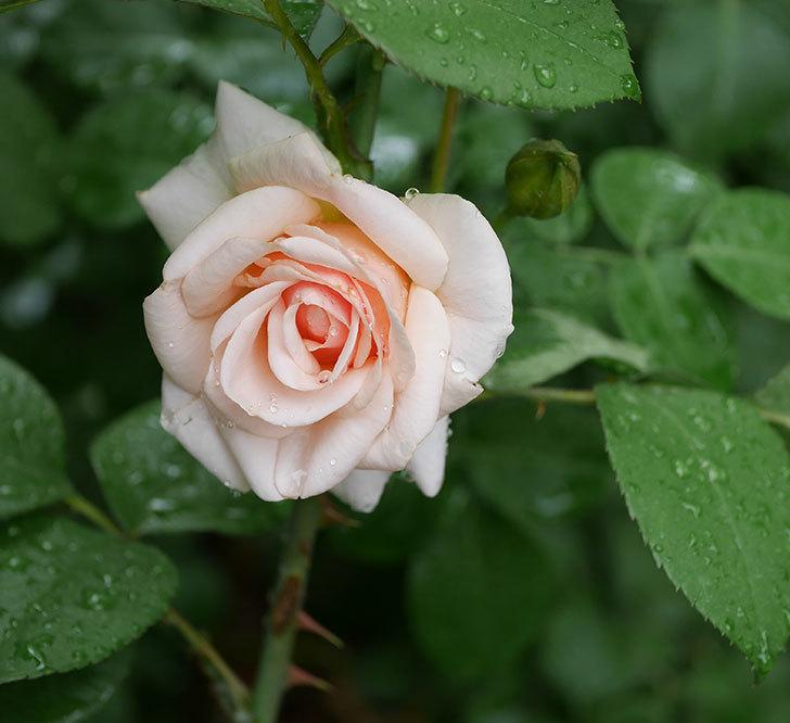 プリティ・レディ(木立バラ)の2番花が咲いた。2019年-1.jpg