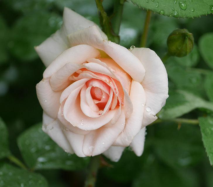 プリティ・レディ(木立バラ)の2番花が咲いた。2019年-2.jpg