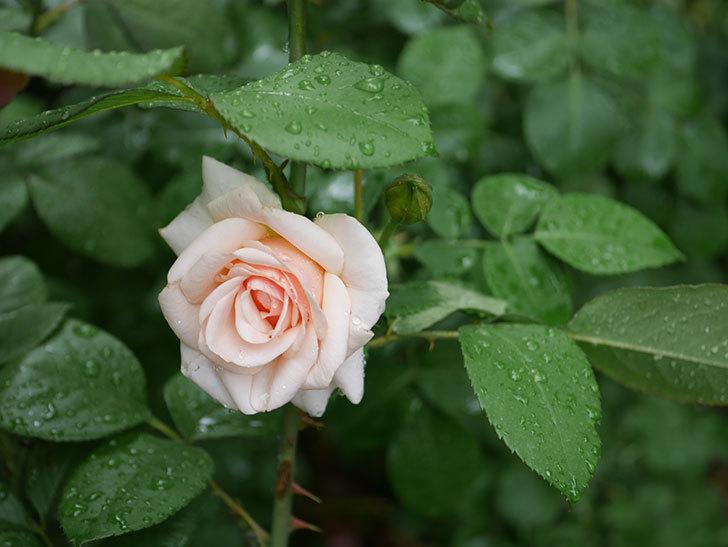 プリティ・レディ(木立バラ)の2番花が咲いた。2019年-3.jpg