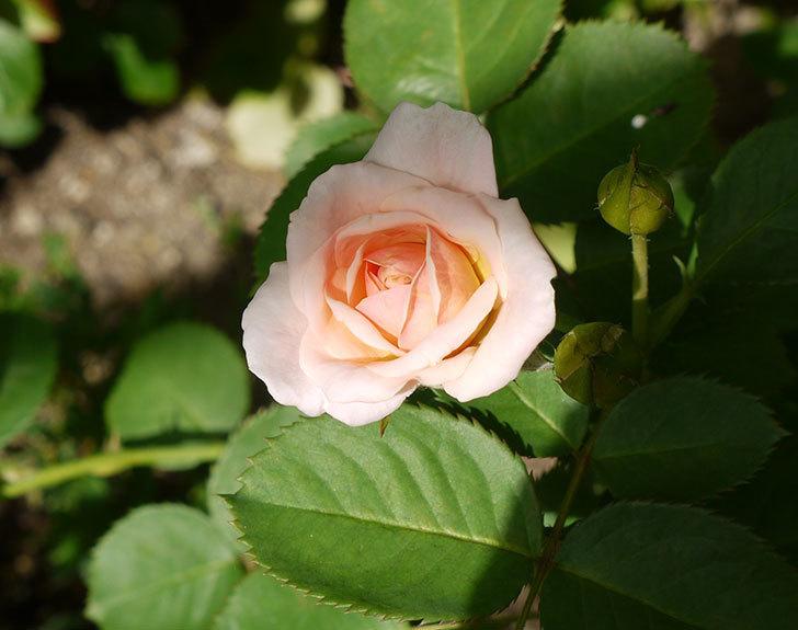 プリティ・レディ(木立バラ)の2番花が咲き出した。2016年-1.jpg