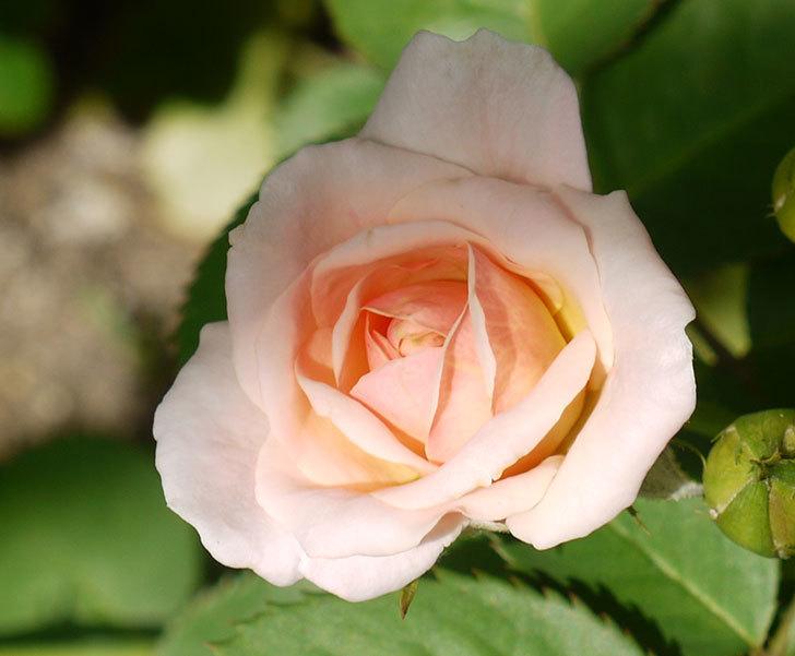 プリティ・レディ(木立バラ)の2番花が咲き出した。2016年-2.jpg