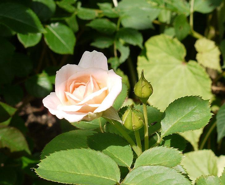 プリティ・レディ(木立バラ)の2番花が咲き出した。2016年-3.jpg