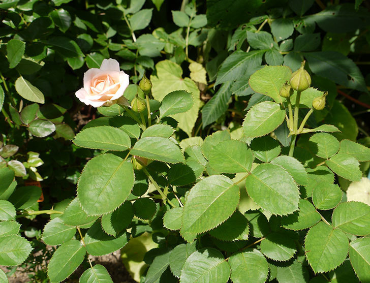 プリティ・レディ(木立バラ)の2番花が咲き出した。2016年-4.jpg