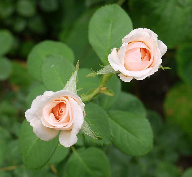 プリティ・レディ(木立バラ)の3番花が2個咲いた。2016年-1.jpg