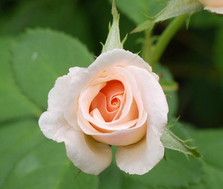 プリティ・レディ(木立バラ)の3番花が2個咲いた。2016年-2.jpg