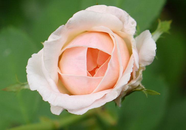 プリティ・レディ(木立バラ)の3番花が2個咲いた。2016年-3.jpg