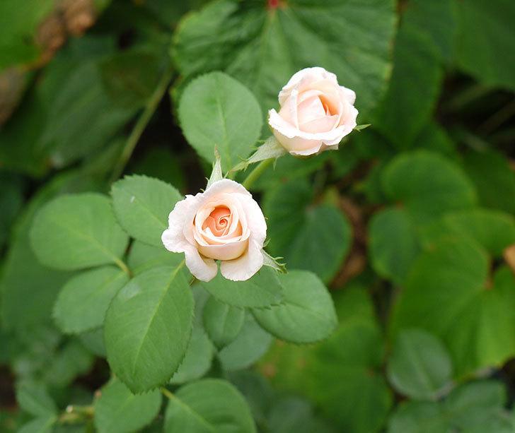 プリティ・レディ(木立バラ)の3番花が2個咲いた。2016年-4.jpg