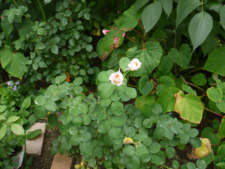 プリティ・レディ(木立バラ)の3番花が2個咲いた。2016年-5.jpg