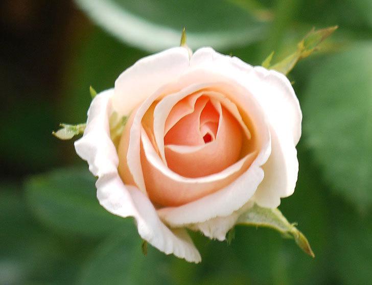 プリティ・レディ(木立バラ)の3番花がまた咲いた。2016年-2.jpg