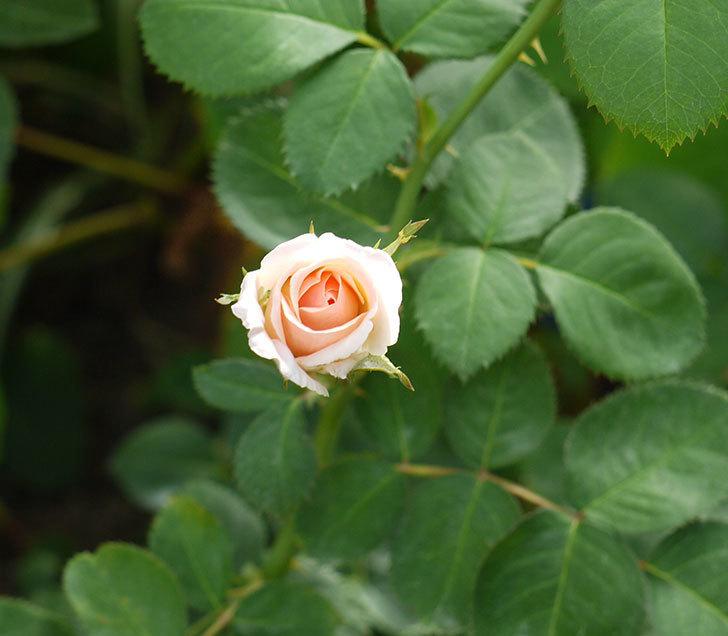 プリティ・レディ(木立バラ)の3番花がまた咲いた。2016年-3.jpg