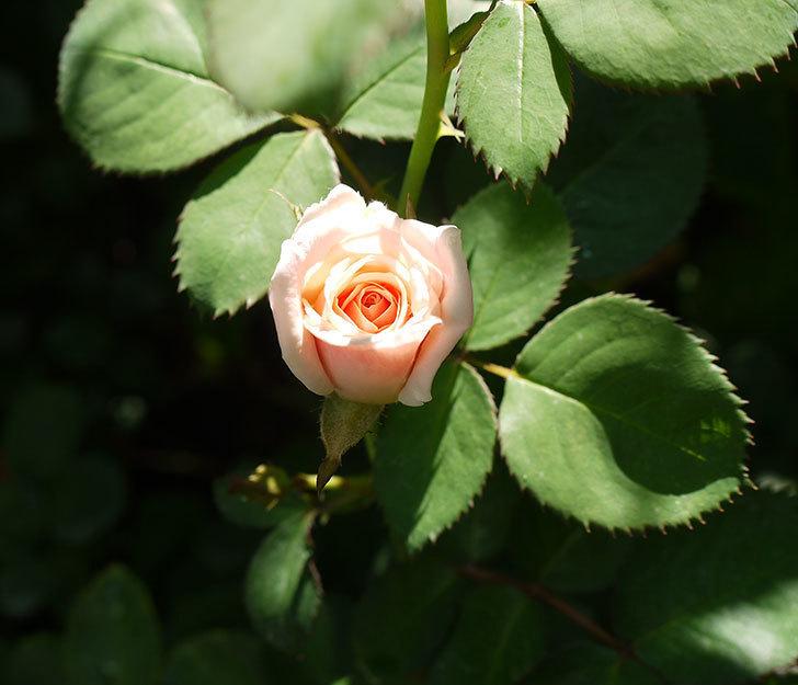 プリティ・レディ(木立バラ)の3番花が咲いた。2016年-1.jpg