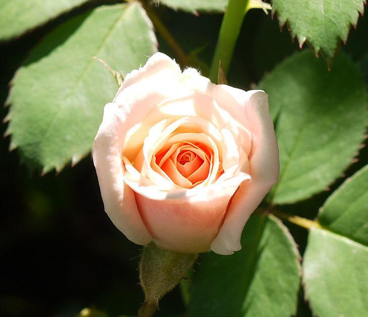プリティ・レディ(木立バラ)の3番花が咲いた。2016年-2.jpg