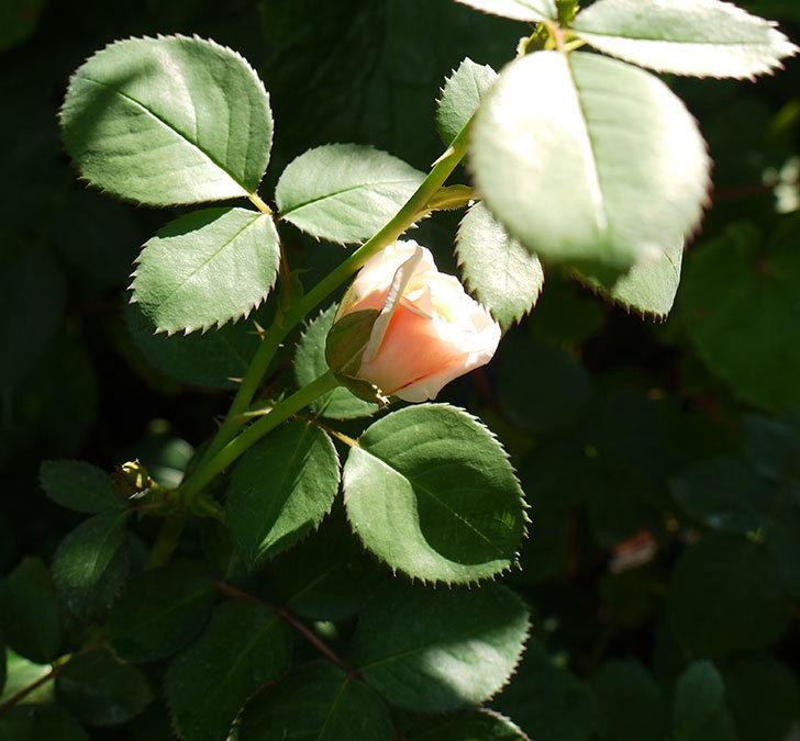 プリティ・レディ(木立バラ)の3番花が咲いた。2016年-3.jpg