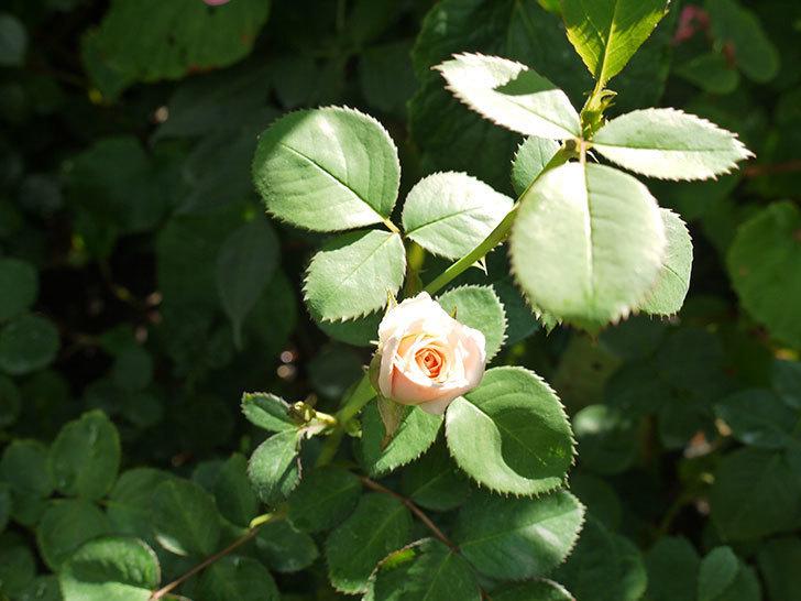 プリティ・レディ(木立バラ)の3番花が咲いた。2016年-4.jpg