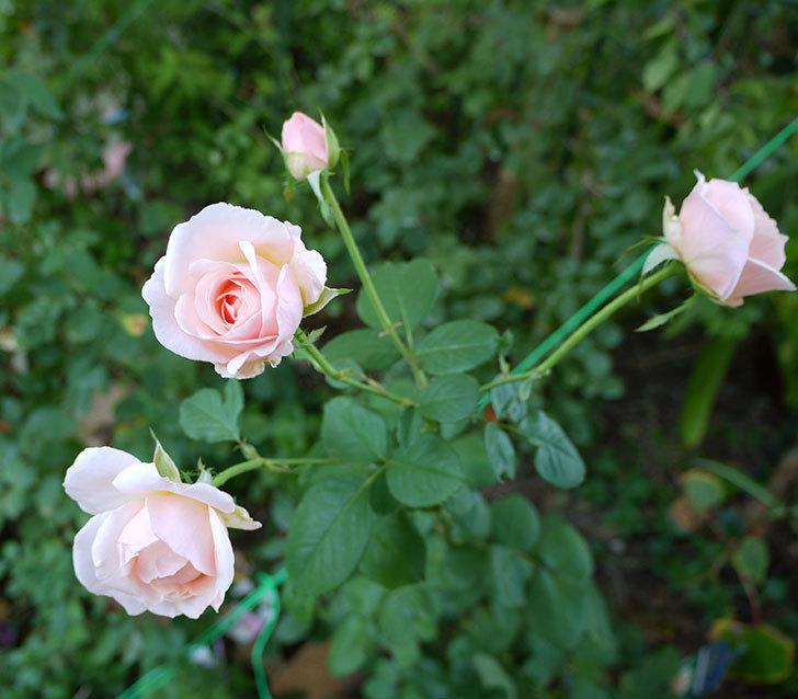 プリティ・レディ(木立バラ)の秋花が4個咲いた。2016年-1.jpg