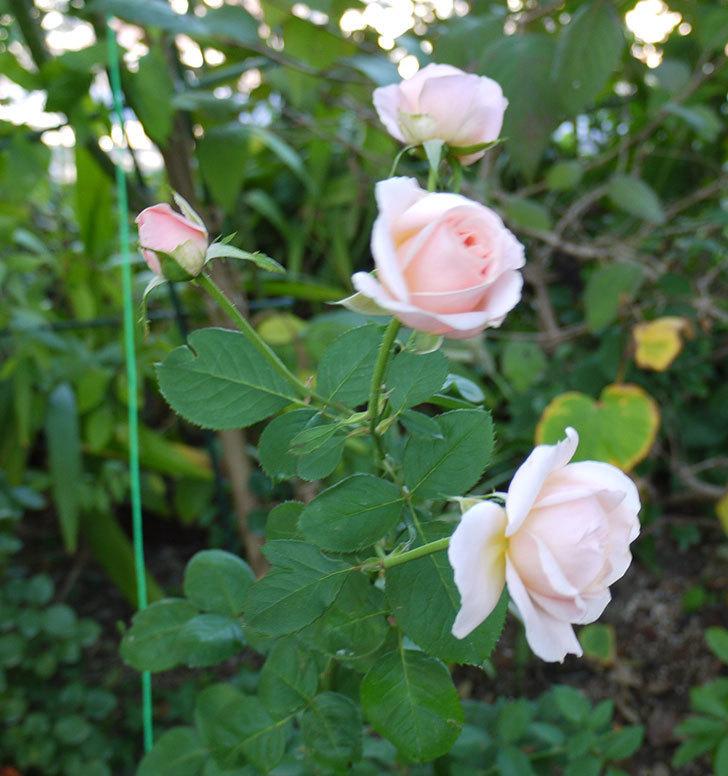 プリティ・レディ(木立バラ)の秋花が4個咲いた。2016年-6.jpg