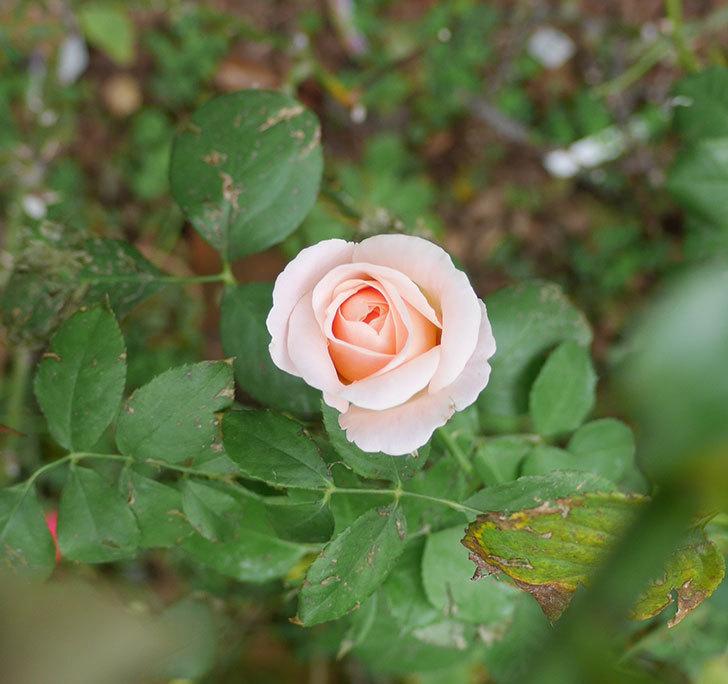 プリティ・レディ(木立バラ)の秋花が咲いた。2019年-3.jpg
