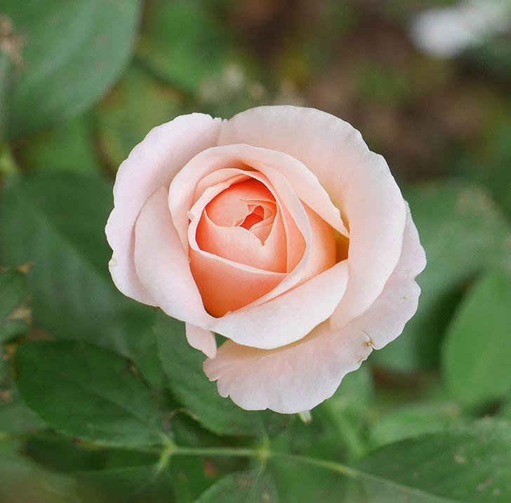 プリティ・レディ(木立バラ)の秋花が咲いた。2019年-4.jpg