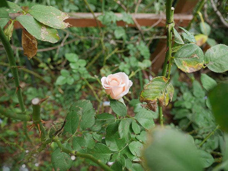 プリティ・レディ(木立バラ)の秋花が咲いた。2019年-5.jpg