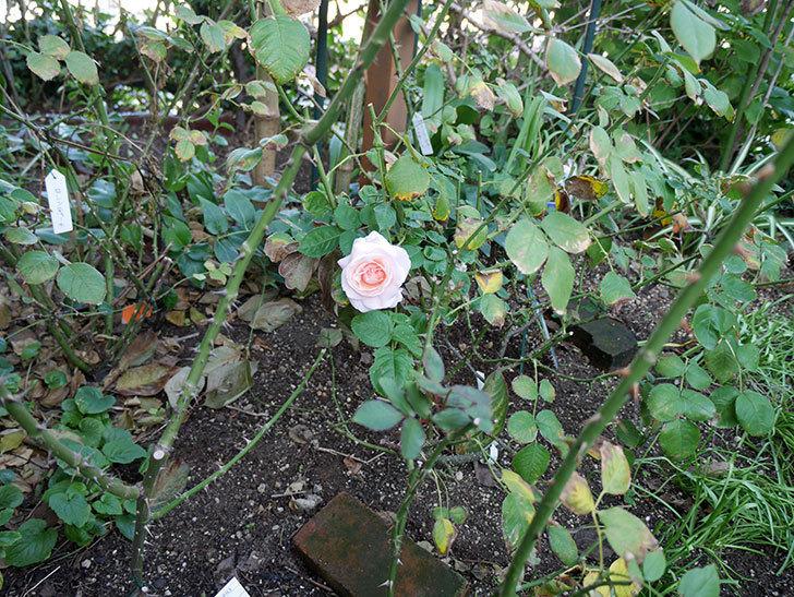 プリティ・レディ(木立バラ)の秋花が綺麗に咲いた。2017年-4.jpg