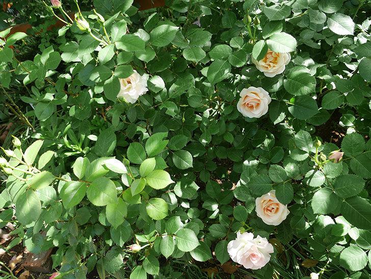プリティ・レディ(木立バラ)の花がたくさん咲いた。2018年-2.jpg