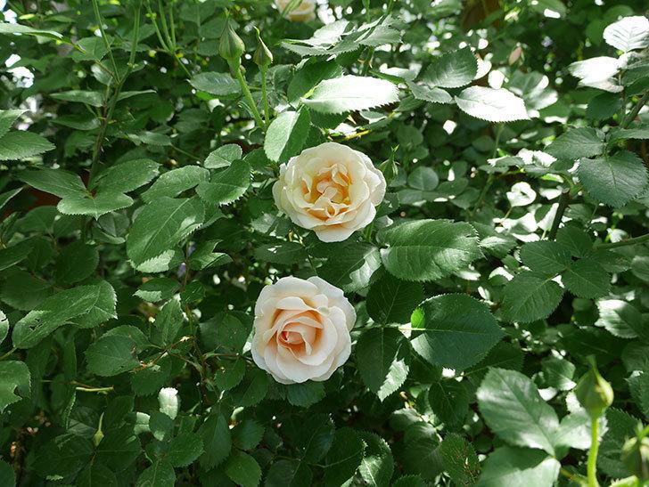 プリティ・レディ(木立バラ)の花がたくさん咲いた。2018年-6.jpg