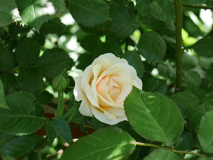 プリティ・レディ(木立バラ)の花がたくさん咲いた。2018年-7.jpg