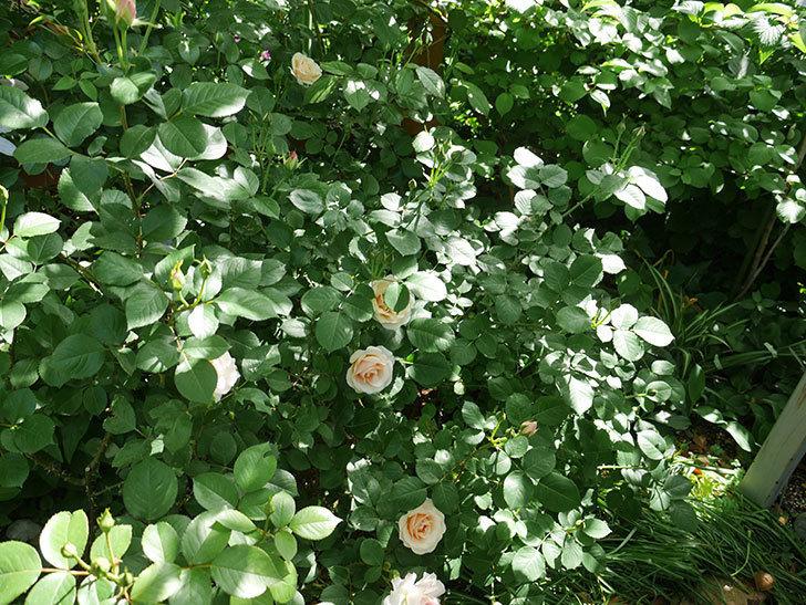 プリティ・レディ(木立バラ)の花がたくさん咲いた。2018年-9.jpg