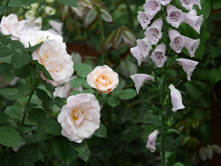 プリティ・レディ(木立バラ)の花がたくさん咲いた。2019年-1.jpg