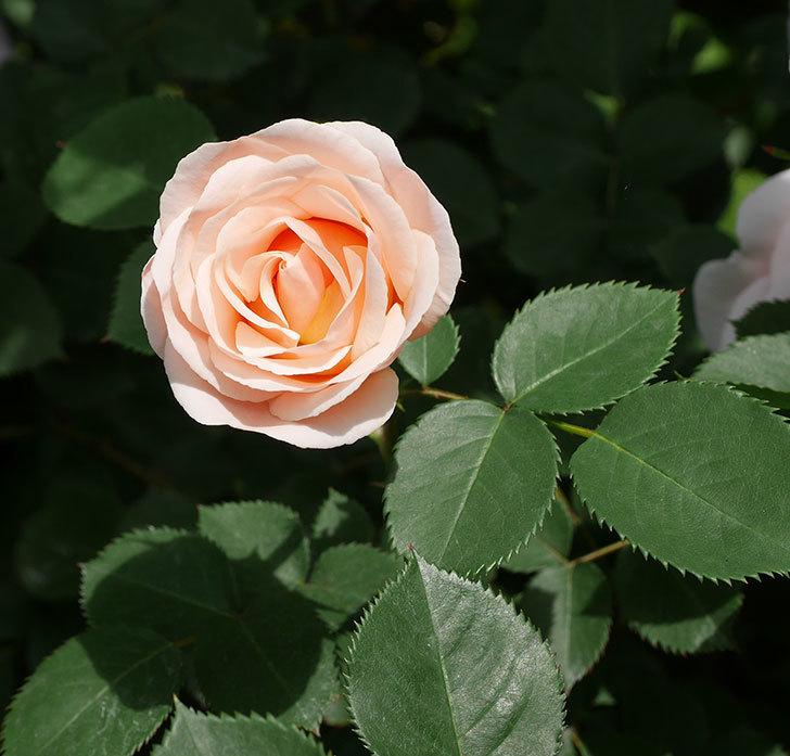 プリティ・レディ(木立バラ)の花がたくさん咲いた。2019年-11.jpg