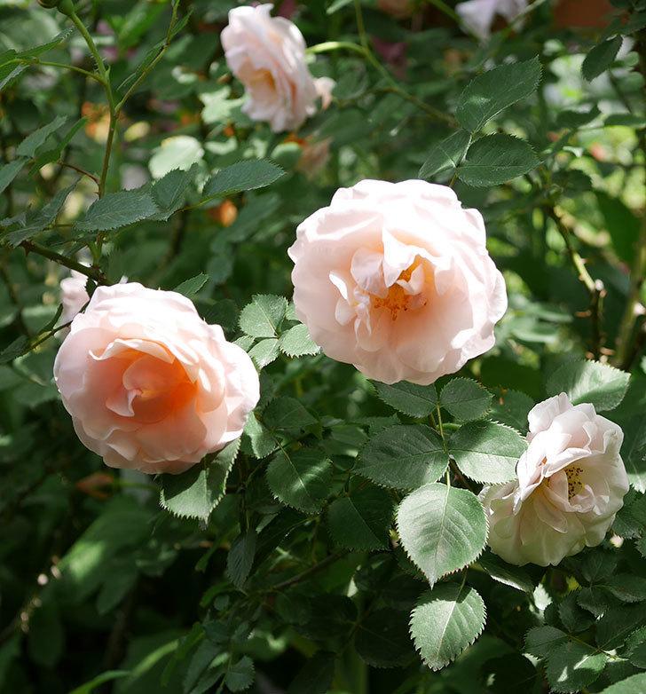 プリティ・レディ(木立バラ)の花がたくさん咲いた。2019年-13.jpg