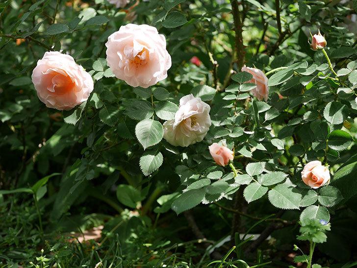プリティ・レディ(木立バラ)の花がたくさん咲いた。2019年-14.jpg