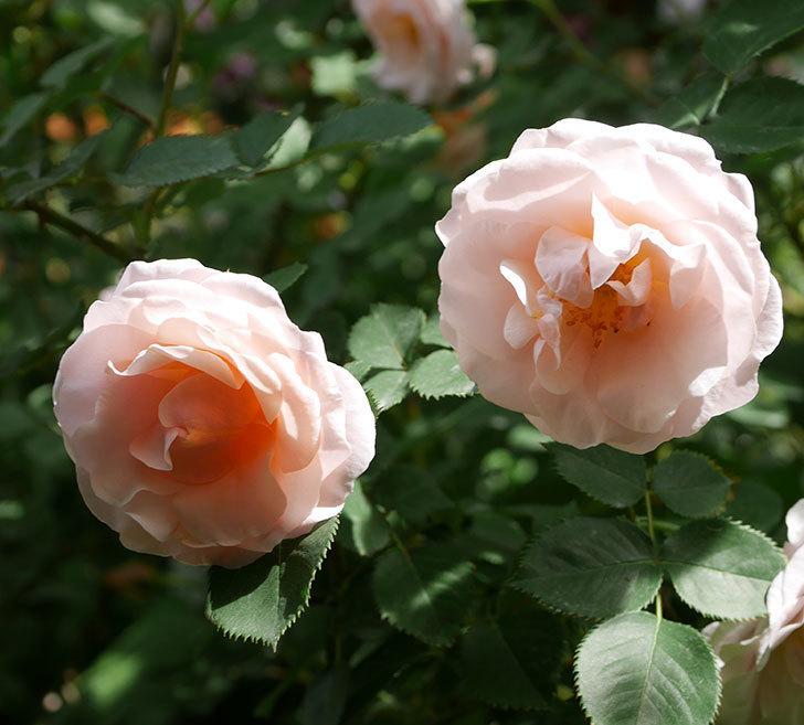 プリティ・レディ(木立バラ)の花がたくさん咲いた。2019年-15.jpg