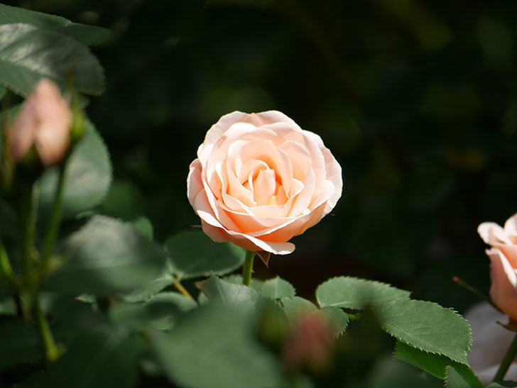 プリティ・レディ(木立バラ)の花がたくさん咲いた。2019年-17.jpg