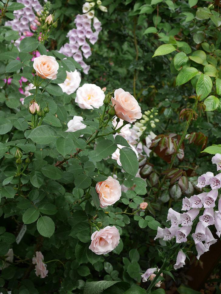 プリティ・レディ(木立バラ)の花がたくさん咲いた。2019年-19.jpg