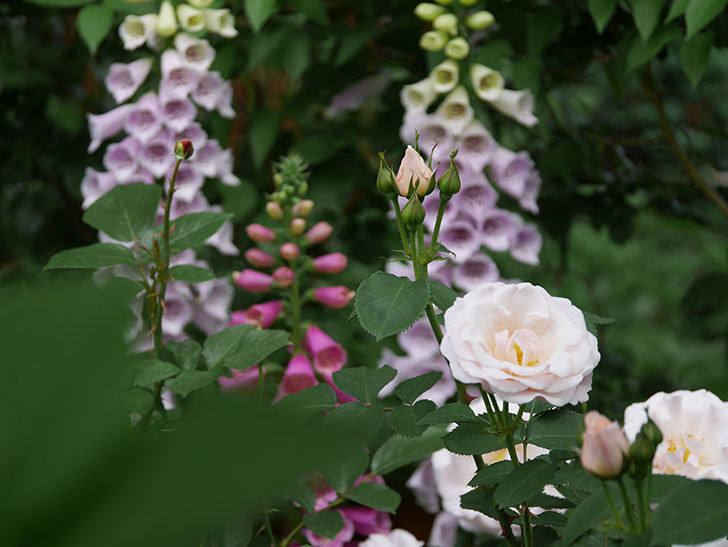 プリティ・レディ(木立バラ)の花がたくさん咲いた。2019年-2.jpg