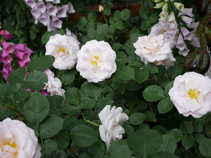 プリティ・レディ(木立バラ)の花がたくさん咲いた。2019年-4.jpg