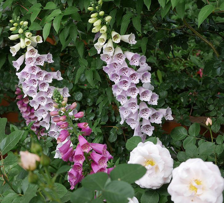 プリティ・レディ(木立バラ)の花がたくさん咲いた。2019年-6.jpg