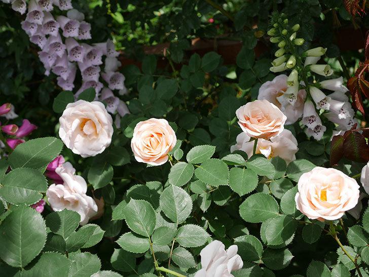 プリティ・レディ(木立バラ)の花がたくさん咲いた。2019年-8.jpg