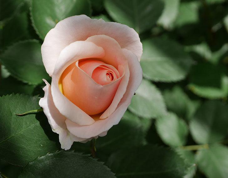 プリティ・レディ(木立バラ)の花がぽつぽつ咲いた。2019年-1.jpg