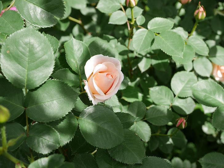 プリティ・レディ(木立バラ)の花がぽつぽつ咲いた。2019年-2.jpg