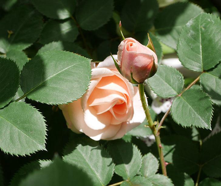 プリティ・レディ(木立バラ)の花がぽつぽつ咲いた。2019年-3.jpg