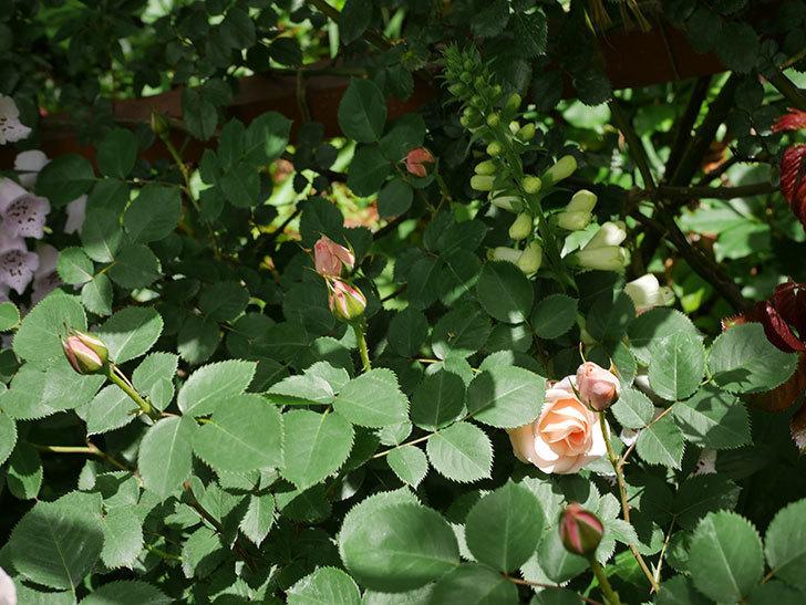 プリティ・レディ(木立バラ)の花がぽつぽつ咲いた。2019年-4.jpg