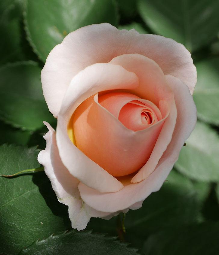 プリティ・レディ(木立バラ)の花がぽつぽつ咲いた。2019年-6.jpg