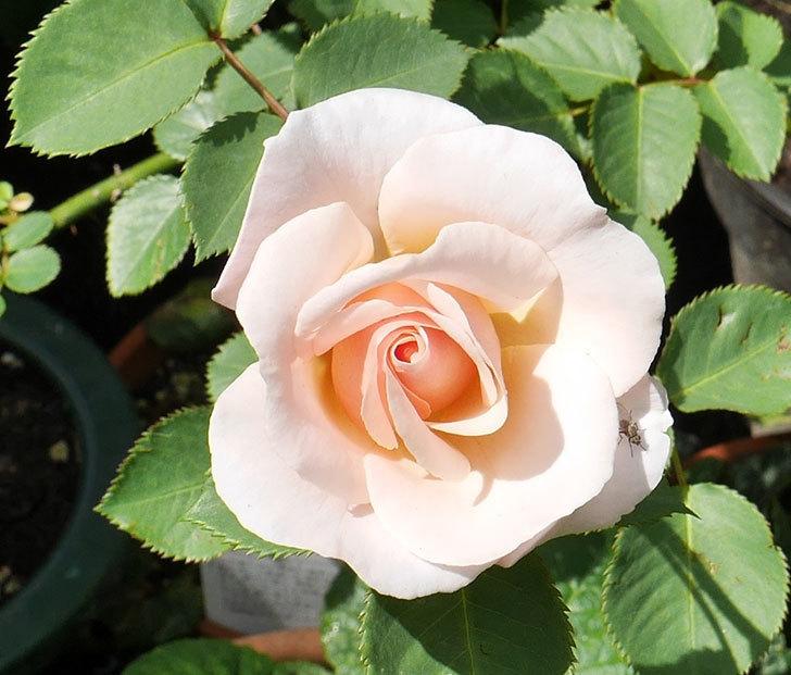 プリティ・レディ(木立バラ)の花がまた咲きだした。2018年-11.jpg