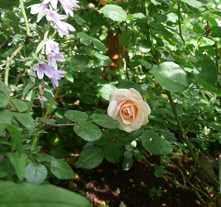 プリティ・レディ(木立バラ)の花がまた咲きだした。2018年-2.jpg