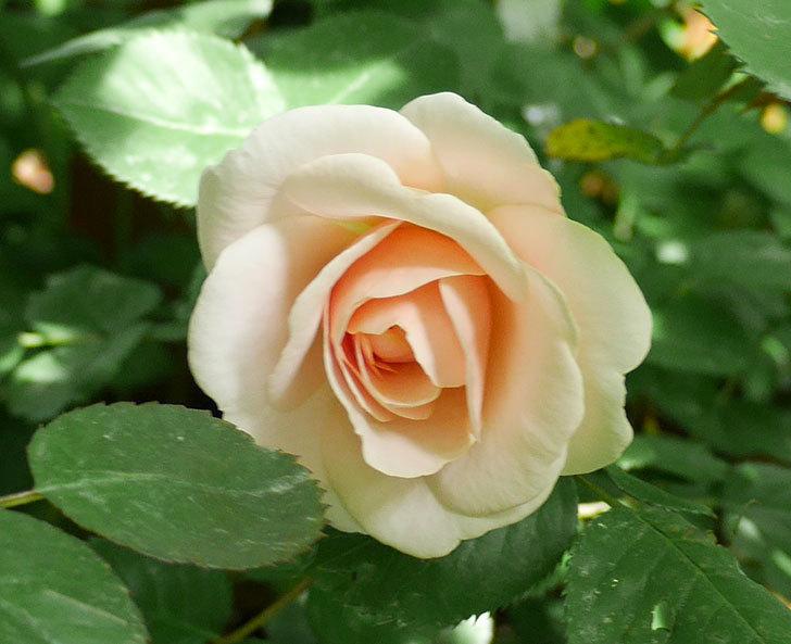 プリティ・レディ(木立バラ)の花がまた咲きだした。2018年-3.jpg