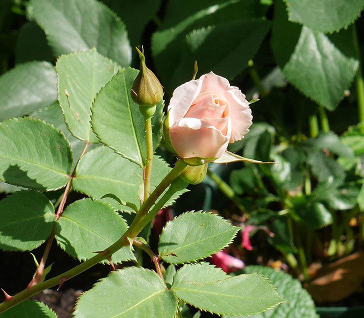プリティ・レディ(木立バラ)の花がまた咲きだした。2018年-6.jpg