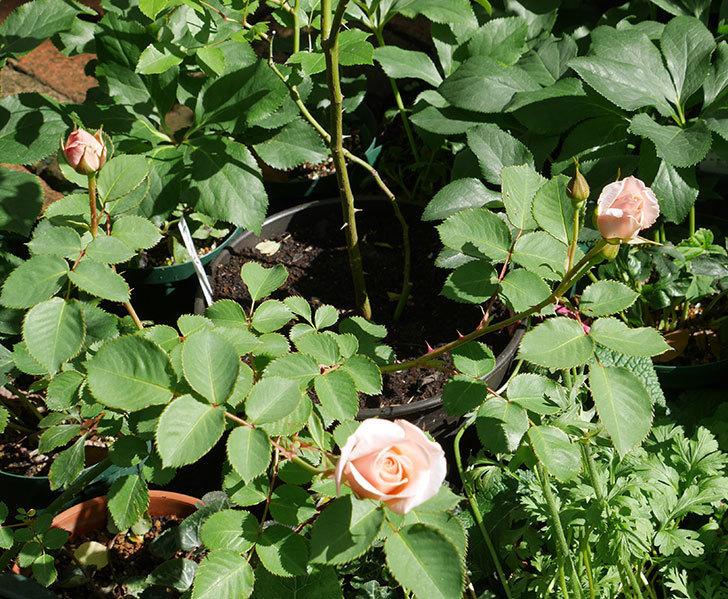 プリティ・レディ(木立バラ)の花がまた咲きだした。2018年-7.jpg